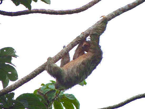 Leaves and Lizards Arenal Volcano Cabin Retreat: Sloth sighting on horseback ride to waterfall