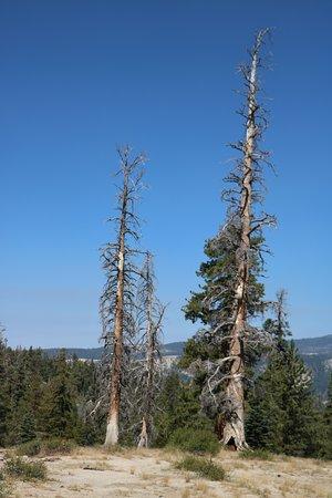 Sentinel Dome : pinheiros