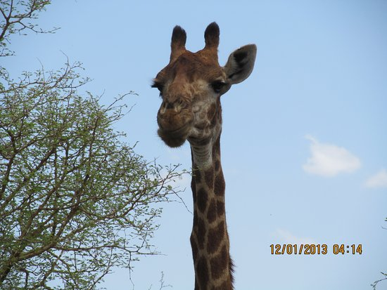 Madikwe Safari Lodge: Giraffes in abundance