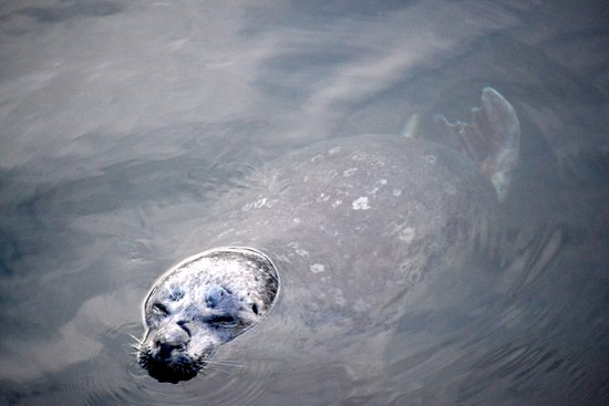 San Juan Islands, WA: Harbor seal.