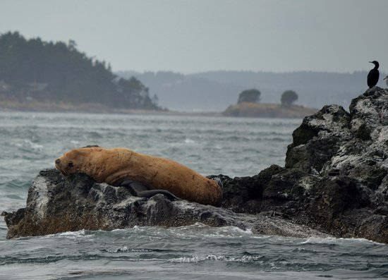 San Juan Islands, WA: Sleepy sea lion.