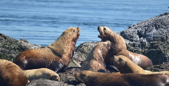 San Juan Islands, WA: Large male Steller's sea lions.