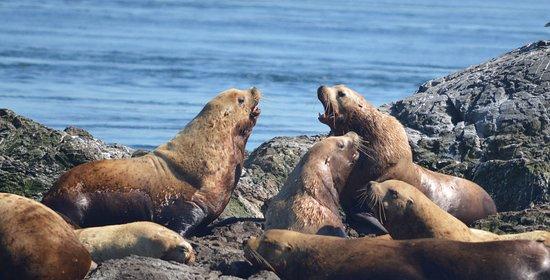 San Juan Islands, واشنطن: Large male Steller's sea lions.