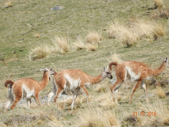 EOLO - Patagonia's Spirit - Relais & Chateaux: If you hike high enough you find the Llama like animals on the property