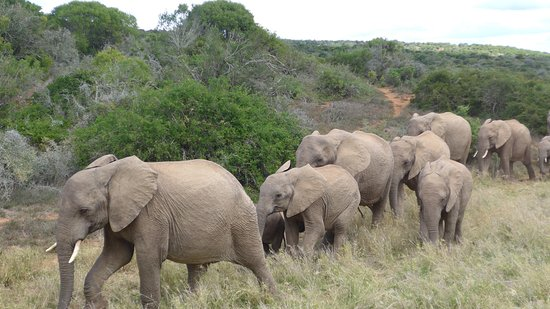 Elephants on the move in Addo Elephant Park.