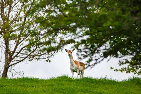 Clover Downs Homestead: Clover the pet deer