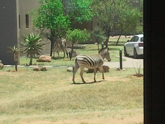 Legend Golf and Safari Resort : Zebras auf Besuch vor dem Bungalow!