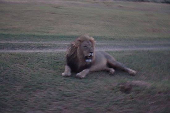 Legend Golf and Safari Resort : Besuch beim Lion-King beim Einnachten.