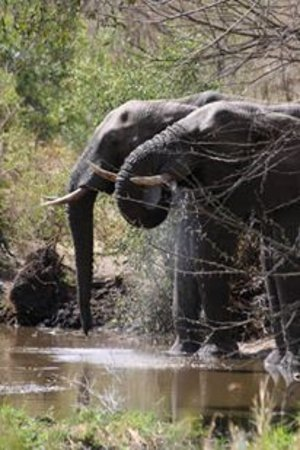 Honeyguide Tented Safari Camps: Elephants from the watering hole outside our tent