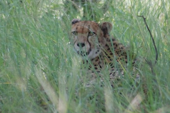 Zimbabwe: Cheetah resting from the heat of the day in Hwange National Park