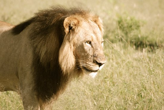 Zimbabwe: Lion coming into his prime at Hwange National Park