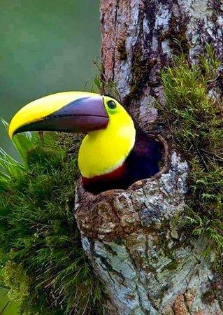 Cabinas Pura Vida: Anidación de tucan Parque Nacional Corcovado