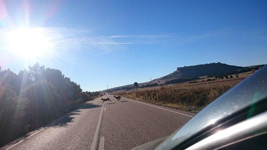Gormaz, สเปน: Nos cruzamos con unos gamos, arriba la fortaleza