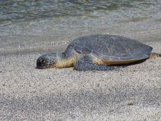 Honaunau, هاواي: Turtle