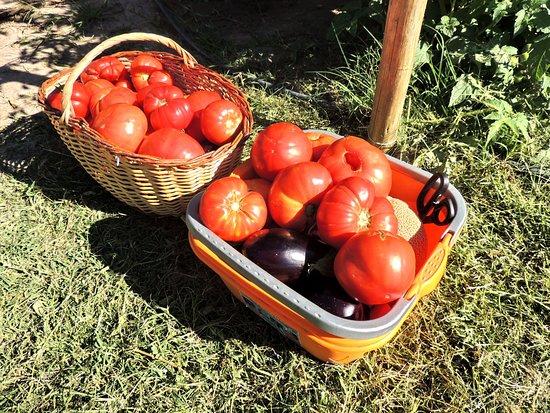 Coquimbito, Argentinië: Cosecha de tomates y berenjenas en la huerta organica