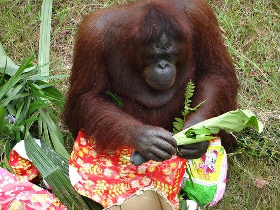 The Great Orangutan Project: Doris and her treat box