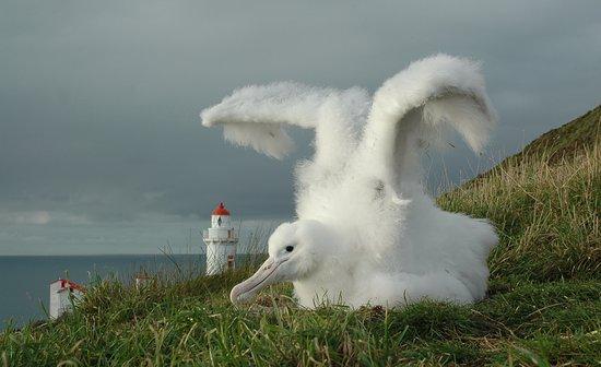 The Royal Albatross Centre: Royal Albatross Chick on Nature Reserve