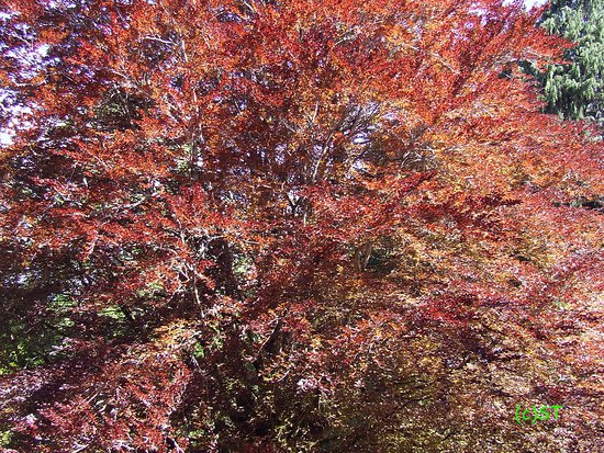 Tupare Park: Red Tree