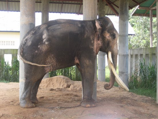 ท่าตูม, ไทย: Bad tempered, 'dangerous' elephant