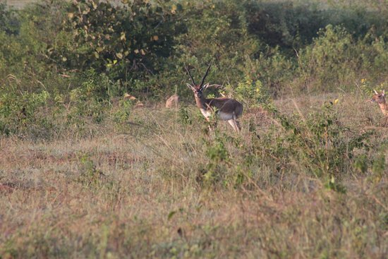 Yelandur, India: Black buck