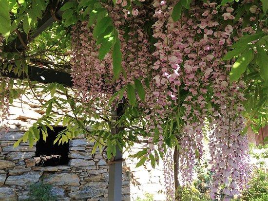 Rapale, Prancis: sous la tonnelle la glycine en fleurs