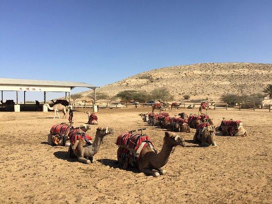 Dimona, Israel: Negev Camel Ranch