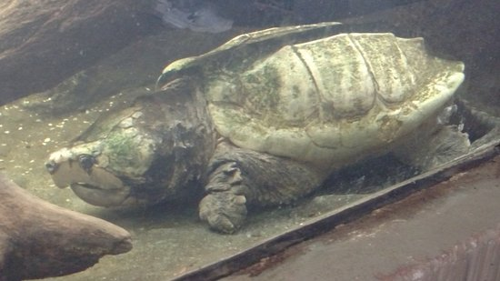 Huge turtle picture of north carolina zoo asheboro tripadvisor north carolina zoo huge turtle publicscrutiny Choice Image