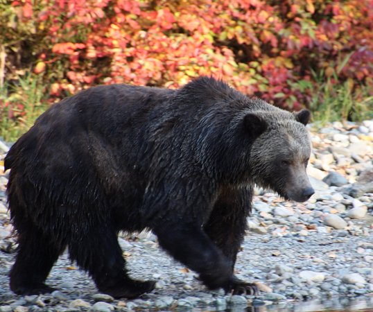 Stuie, Canada: Adult male grizzly bear