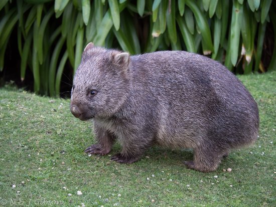 Wilsons Promontory Lighthouse: Wombat in the lighthouse grounds.