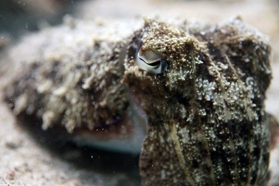 Eye staring contest with a cuttlefish.