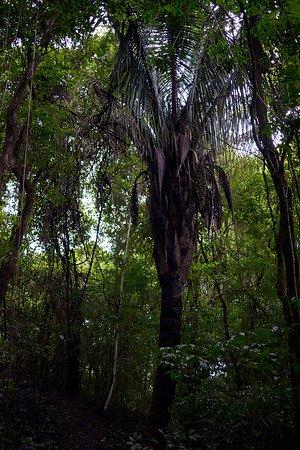Nicoya, Коста-Рика: Urwaldpalme