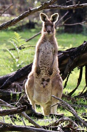 DULC Cabins: Kangaroos near cabin