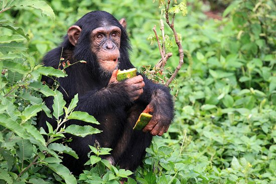 chimpanzee trekking at gombe stream national park