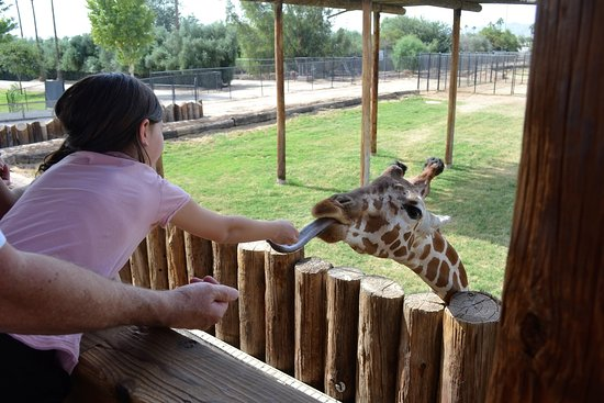 Litchfield Park, AZ: feeding the giraffe
