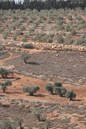 Yodfat, Israel: View from the top with some awesome olive trees in the foreground