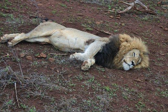 Amakhosi Safari Lodge: Lion during safari!