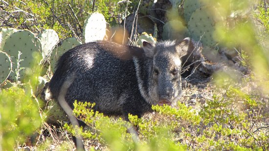 Alpine, TX: Javelina (Peccary) are common in the park, but not often seen.