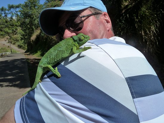 Pukalani Country Club : Our new friend, a Jackson's chameleon