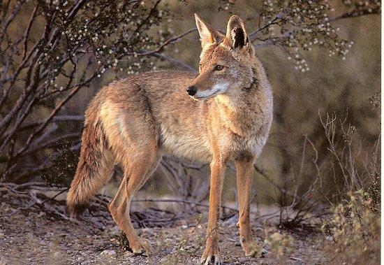 Super 8 Valparaiso: coyote-04_large.jpg