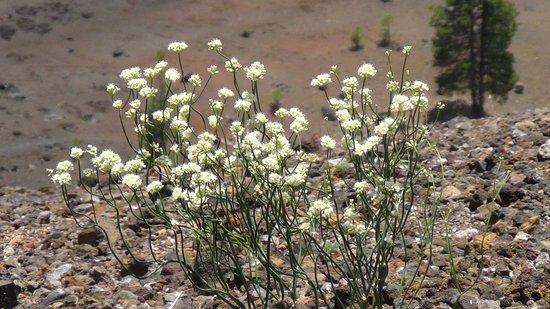 Mineral, CA: Wild Flowers
