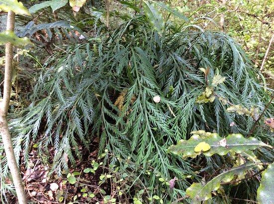Papatowai, Nueva Zelanda: Looks like a fern but unknown