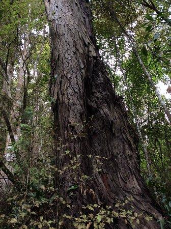 Papatowai, Nueva Zelanda: Rims tree
