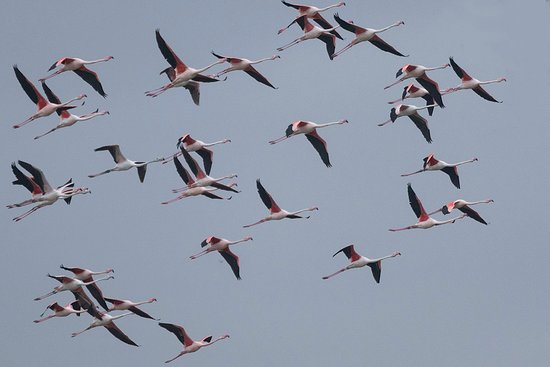 Costa Blanca, Spanyol: Greater Flamingoes in flight