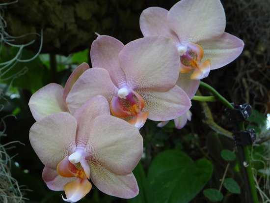 Phipps Conservatory: orchids