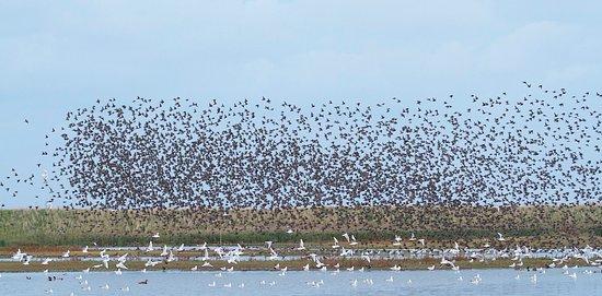 Titchwell, UK: Starling murmuration