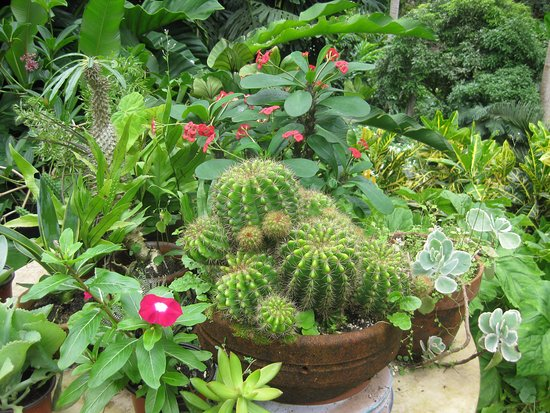 Hunte's Gardens: Unusual display of cactus