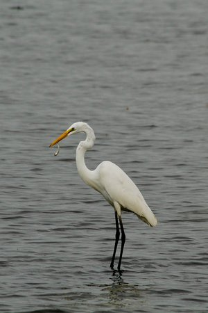 Tiptonville, TN: Great Egret with a snack