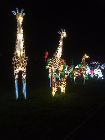Hales Corners, WI: Giraffes