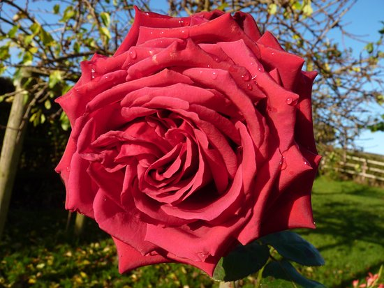 Dungannon, UK : A beautiful rose still in bloom in the garden in November