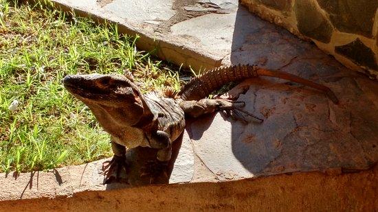 Hotel Arco Iris: Iguanas soltas